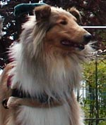 Kings Valley Collies service dog Ramsey