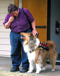 Kings Valley Collies service dog Ramsey in harness training with Leslie.