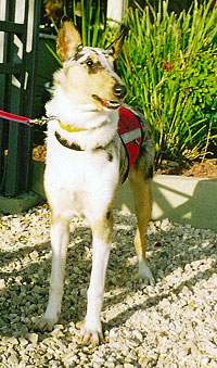 Epilepsy alert dog and smooth collie Blue Sky of Netiv HaAyit, bred from Kings Valley Collies