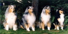 Kings Valley Collies in Oregon shows four collies, the Angel Quartet