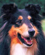 American Import Kings Valley Covenant, called Scotty, became a noted pillar sire of many lines of working collies in Germany.