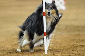 JoJo, shown here competing in the poles portion of an agility contest, is also known as MACH Ryder's First Edition, XF and she is a full sister of Ch. Kings Valley She's A Ryder, HC,TC.