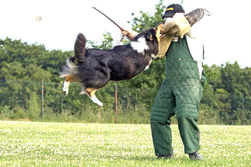 "An example of ""Hundesport"" with a Collie performing the ""man work"" part of the test."