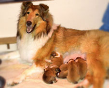Sable Collie Nursing Puppies Kings Valley Collies Breeders