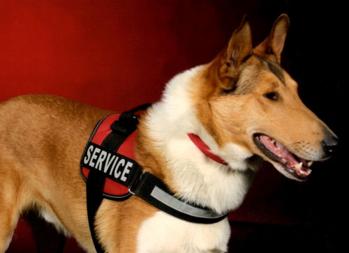 Cole Service Collie