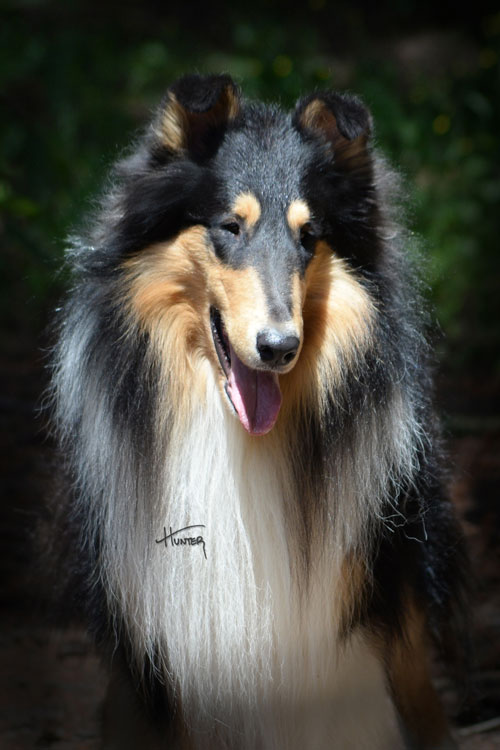 Kings Valley Collies Johnny Sire man in black
