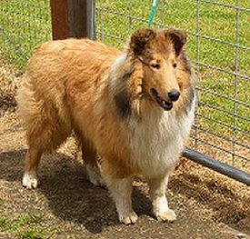 Kings Valley Collies dog Truly from KVC dam Honey.