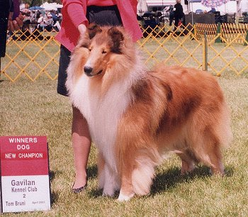 Kings Valley Collies sire Brady.