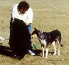 A collie examines an object during a temperment test.