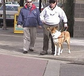 Guide dog Sailor checks his handler at a curb.