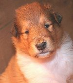 Collie puppies can grow to be well suited for service work.