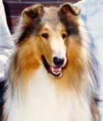 Kings Valley Collies mobility dog Lion.