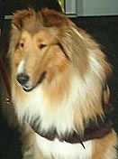 Kings Valley Collies service dog Brynn