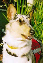 Smooth collie and mobility assistance dog Blue Sky.