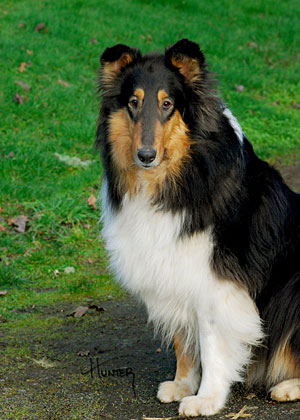 Indy, an Up and coming Collie for Mobility and Support currently in training at Kings Valley Collies in Oregon