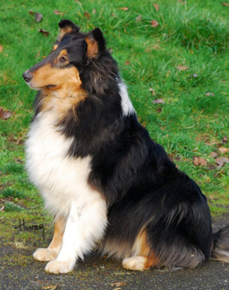 Side view of Indy, an Up and coming Collie for Mobility and Support currently in training at Kings Valley Collies in Oregon