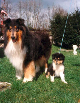 """American Import Kings Valley Covenant, called """"Scotty,"""" became a noted pillar sire of many lines of working collies in Germany. Son Scotty 2 also sired many working dogs."""