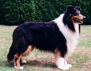 American Import Kings Valley Covenant or Scotty.