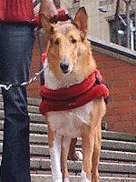 Andy, a collie from Kings Valley Collies, is trained for mobility and support for partner Devin.