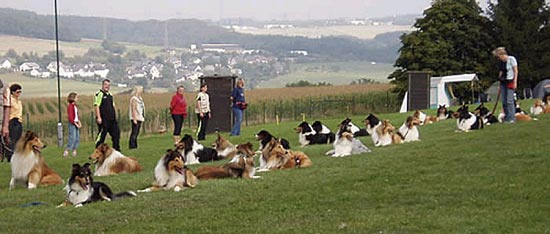 """A group of German Collies, many descendents of German Import Kings Valley Covenant, all performing the """"Long Down"""" exercise."""