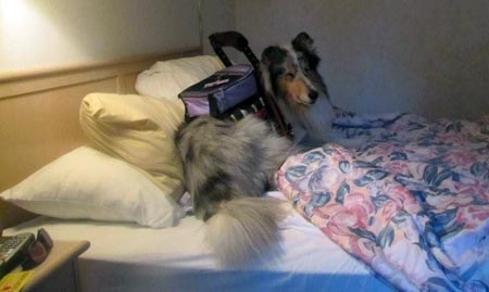 Service dog Sammy from Kings Valley Collies in Corvallis, Oregon, during his team training in the hotel with his new partner.