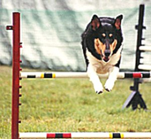 Kings Valley Collies Echo participating in agility