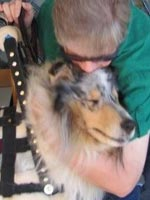 Sammy, a mobility assistance dog from Kings Valley Collies in Corvallis, Oregon, relaxes at his new home.