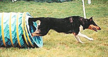 Kings Valley Collies Echo participating in agility, going through a tunnel