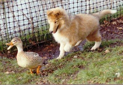 Kings Valley Collies Lizzie herds ducks
