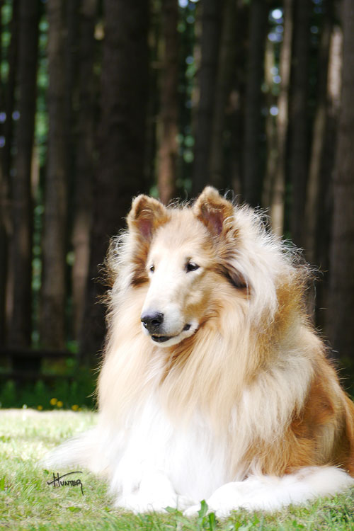 Flynn Collie Service Collie Sire Kings Valley Collies