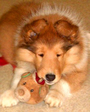 Collie puppy with chew toy