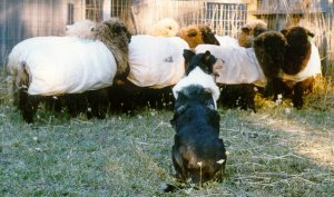 Kings Valley Collies Lovey herds sheep