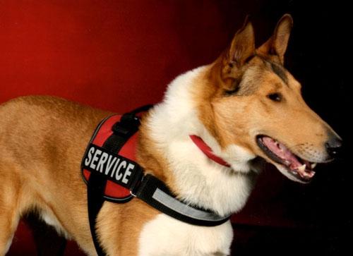 Cole Service Collie