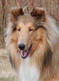 Kings Valley Collies dog Walter from KVC dam Honey.