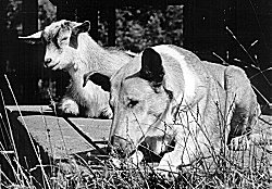 Kings Valley Collies ROM dam Tender with a pygmy goat.