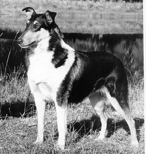 Kings Valley Collies dog Chummy.