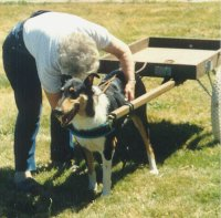 A collie is harnessed to a cart.
