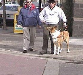 Guide dog Sailor checks his handler at a curb.