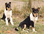 Collie puppies prepare for work as service dogs.