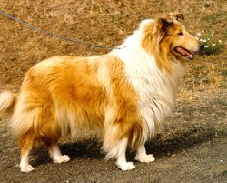 Kings Valley Collies mobility dog Blondie.