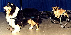 Kings Valley service dog Cole working with a cart.