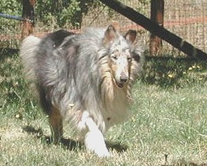Kings Valley Collies mobility dog Sera in retirement.